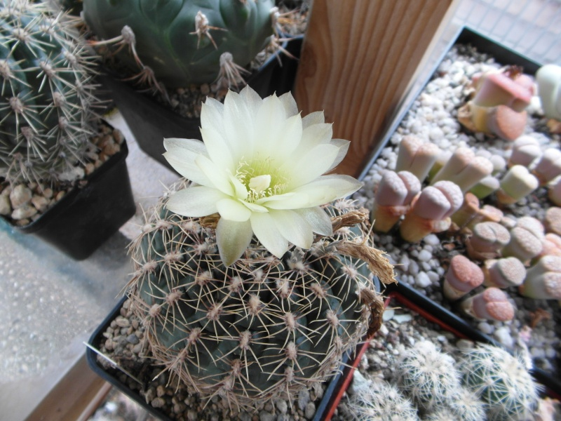 Cacti and Sukkulent in Köln, every day new flowers in the greenhouse Part 74 Bild1136
