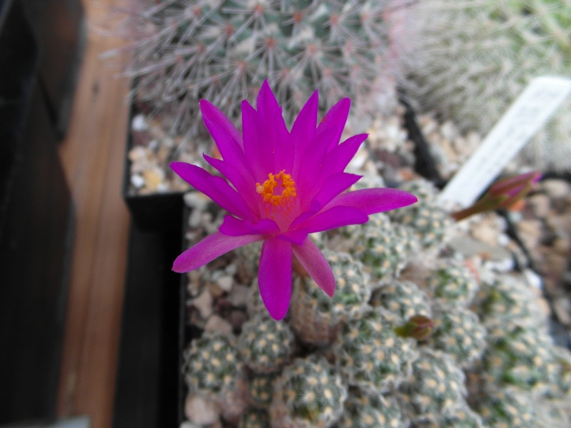 Cacti and Sukkulent in Köln, every day new flowers in the greenhouse Part 74 Bild1138