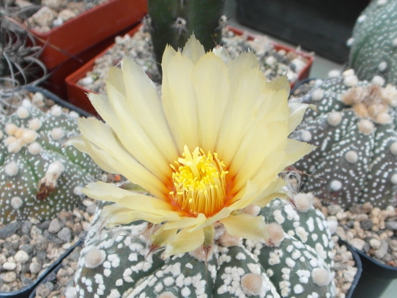 Cacti and Sukkulent in Köln, every day new flowers in the greenhouse Part 74 Bild1142