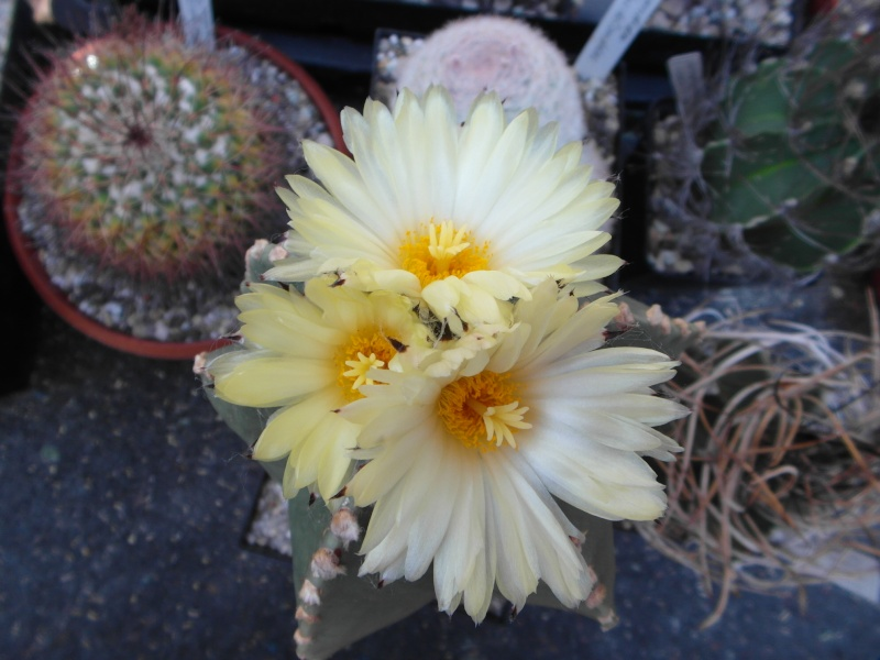 Cacti and Sukkulent in Köln, every day new flowers in the greenhouse Part 74 Bild1150