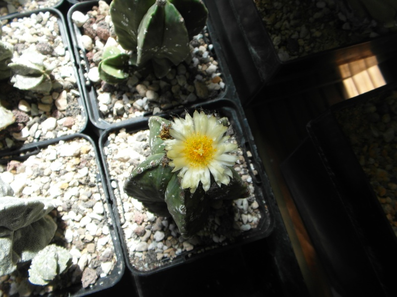 Cacti and Sukkulent in Köln, every day new flowers in the greenhouse Part 74 Bild1152
