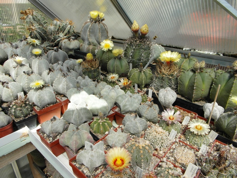 Cacti and Sukkulent in Köln, every day new flowers in the greenhouse Part 74 Bild1158