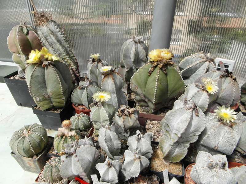Cacti and Sukkulent in Köln, every day new flowers in the greenhouse Part 74 Bild1160