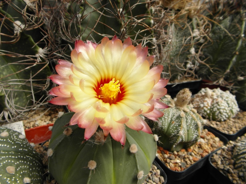 Cacti and Sukkulent in Köln, every day new flowers in the greenhouse Part 74 Bild1161