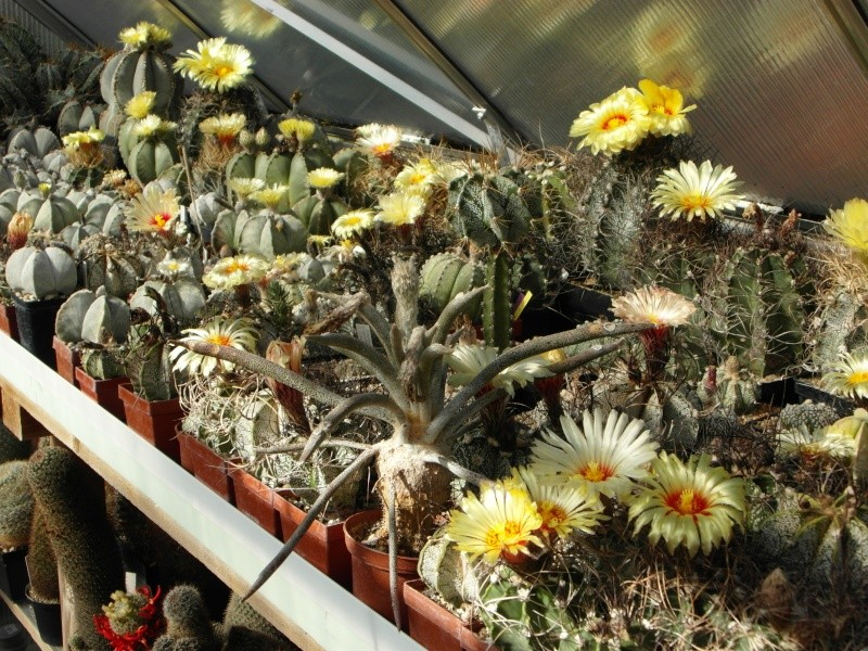Cacti and Sukkulent in Köln, every day new flowers in the greenhouse Part 74 Bild1163