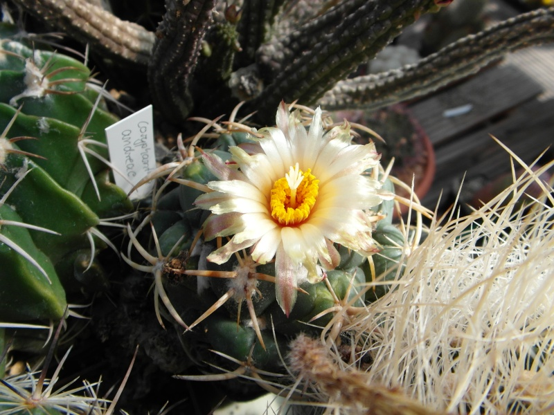Cacti and Sukkulent in Köln, every day new flowers in the greenhouse Part 74 Bild1166
