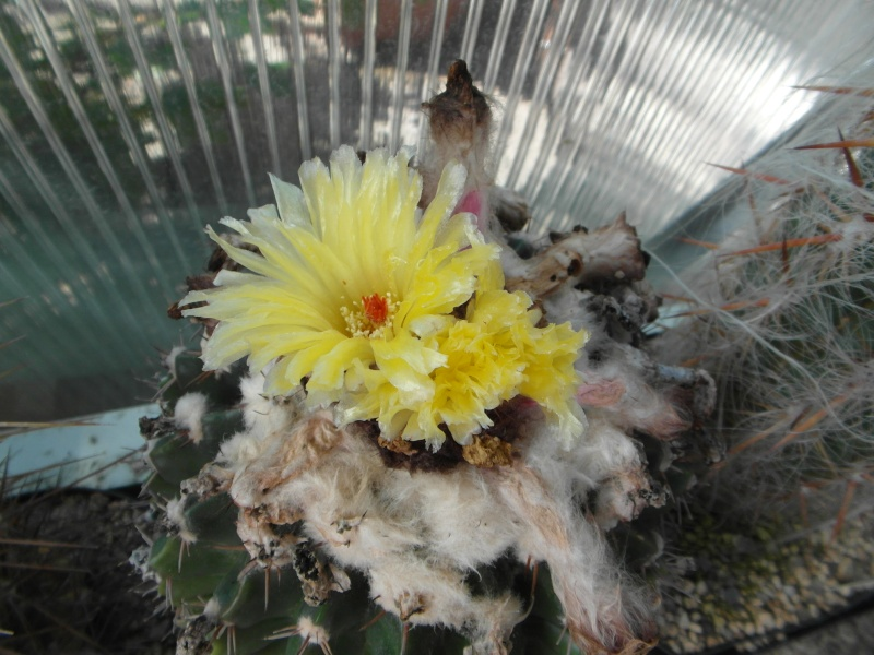 Cacti and Sukkulent in Köln, every day new flowers in the greenhouse Part 75 Bild1169