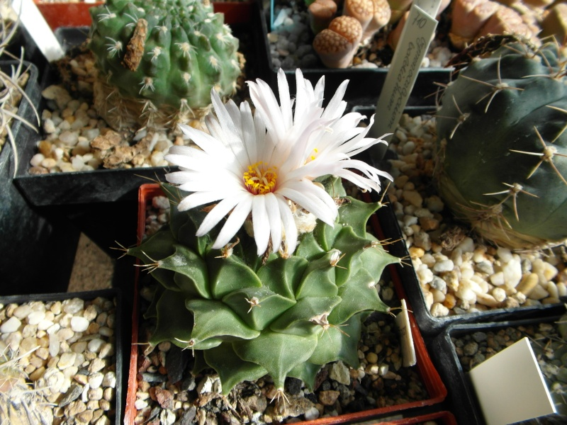Cacti and Sukkulent in Köln, every day new flowers in the greenhouse Part 75 Bild1172