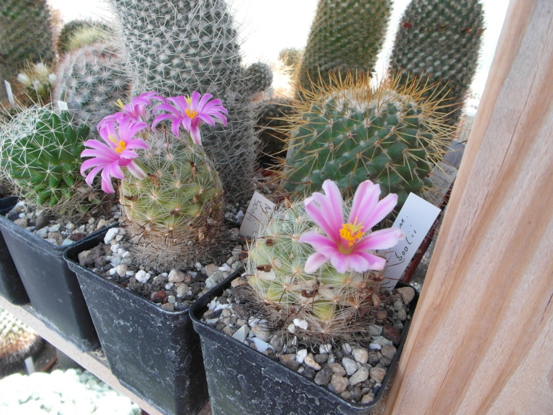 Cacti and Sukkulent in Köln, every day new flowers in the greenhouse Part 75 Bild1177