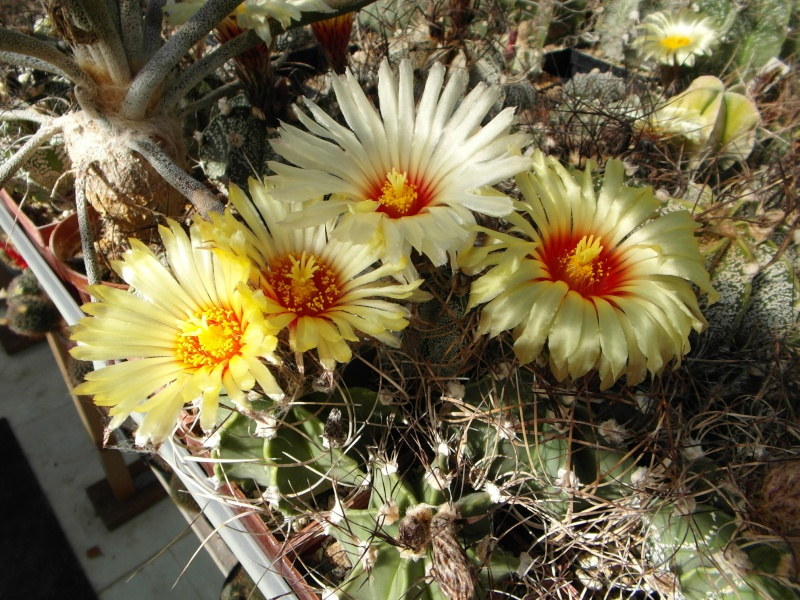 Cacti and Sukkulent in Köln, every day new flowers in the greenhouse Part 75 Bild1178