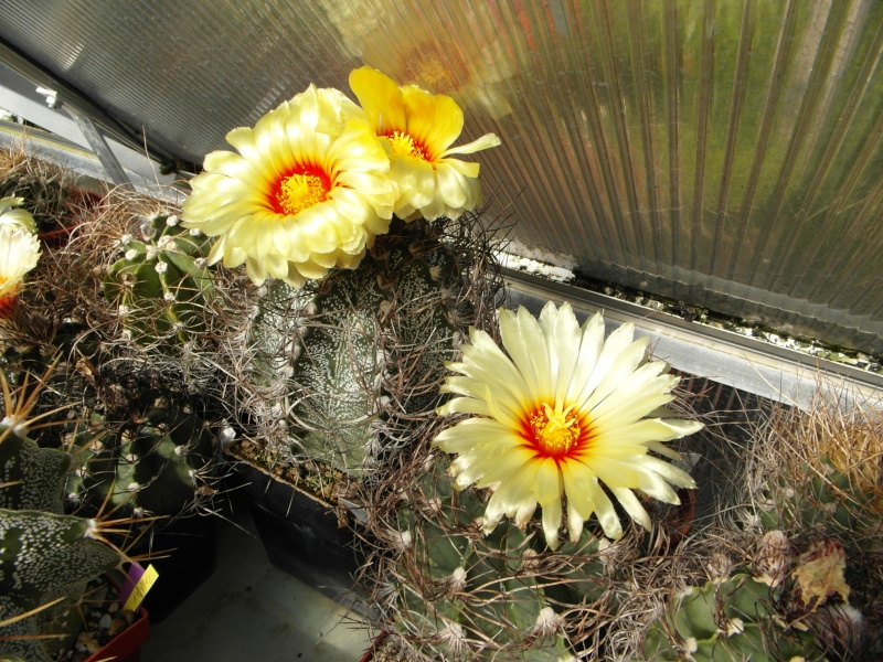 Cacti and Sukkulent in Köln, every day new flowers in the greenhouse Part 75 Bild1179