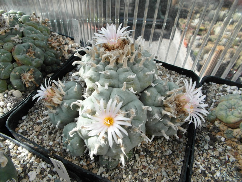 Cacti and Sukkulent in Köln, every day new flowers in the greenhouse Part 75 Bild1183