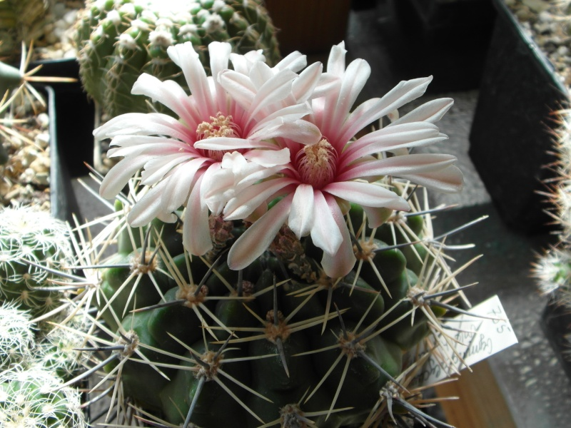 Cacti and Sukkulent in Köln, every day new flowers in the greenhouse Part 75 Bild1196