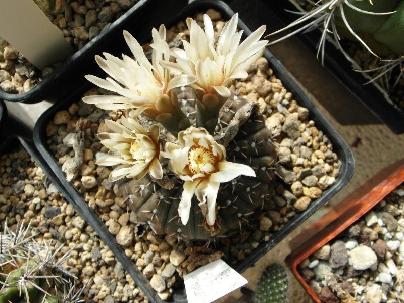 Cacti and Sukkulent in Köln, every day new flowers in the greenhouse Part 75 Bild1197