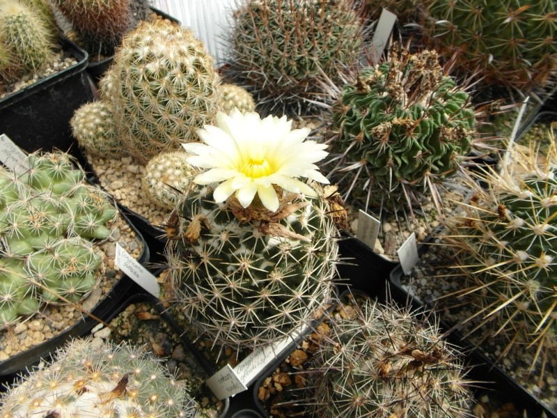 Cacti and Sukkulent in Köln, every day new flowers in the greenhouse Part 75 Bild1211