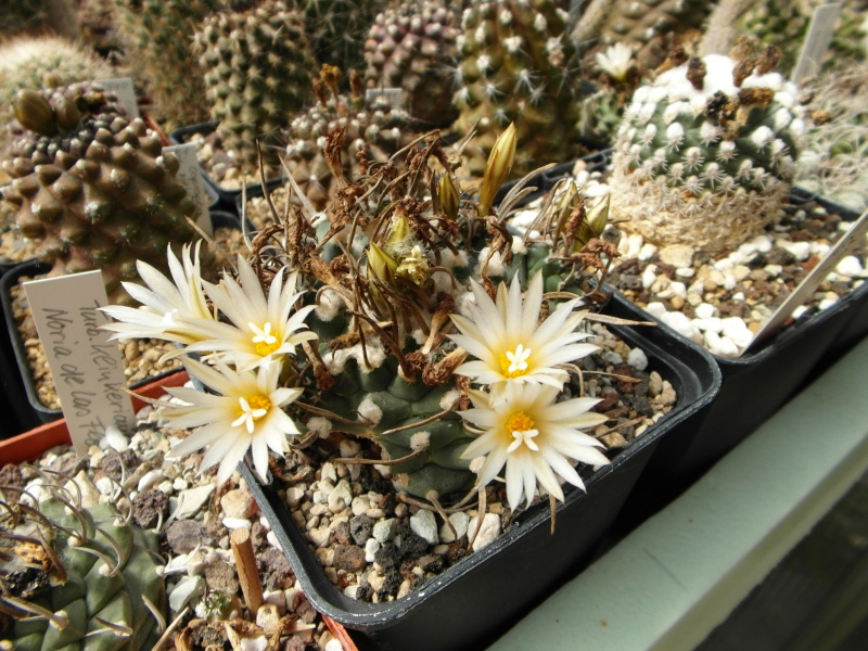 Cacti and Sukkulent in Köln, every day new flowers in the greenhouse Part 75 Bild1214