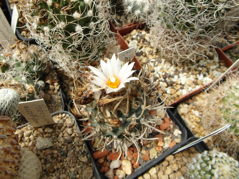 Cacti and Sukkulent in Köln, every day new flowers in the greenhouse Part 75 Bild1215
