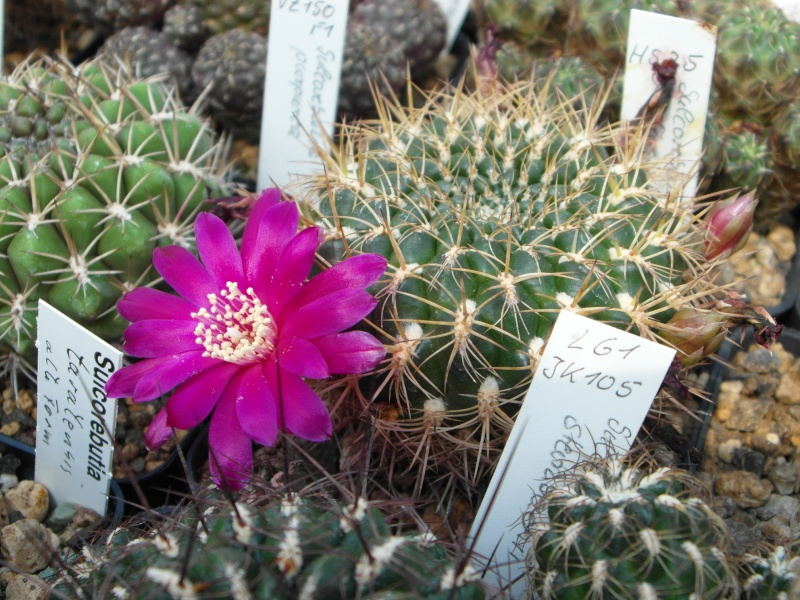 Cacti and Sukkulent in Köln, every day new flowers in the greenhouse Part 75 Bild1220