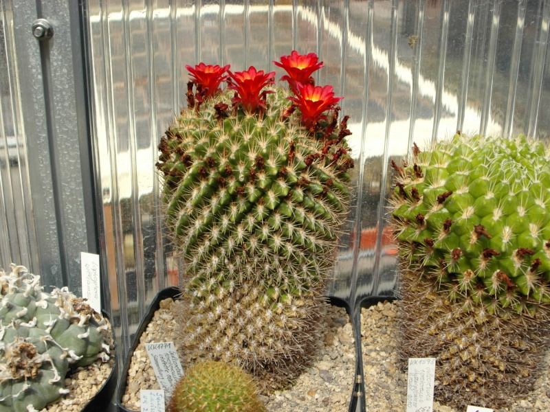 Cacti and Sukkulent in Köln, every day new flowers in the greenhouse Part 75 Bild1221
