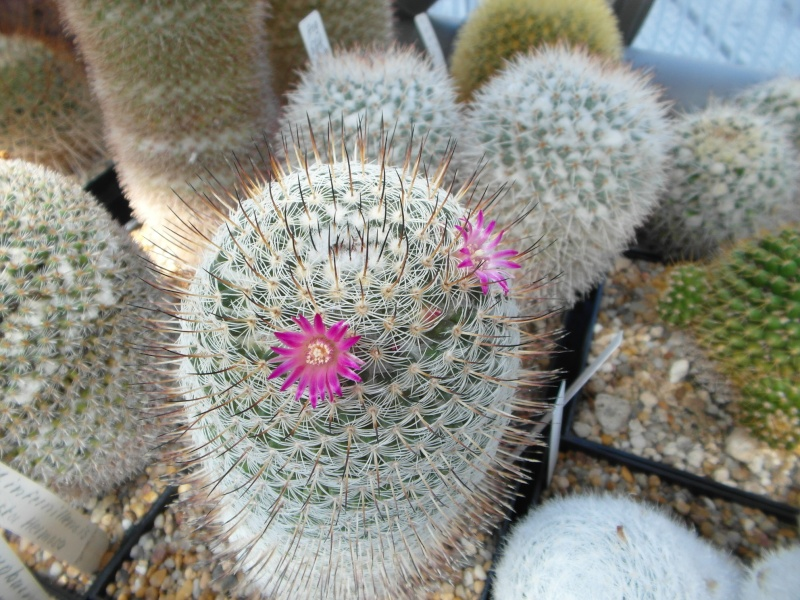 Cacti and Sukkulent in Köln, every day new flowers in the greenhouse Part 75 Bild1225