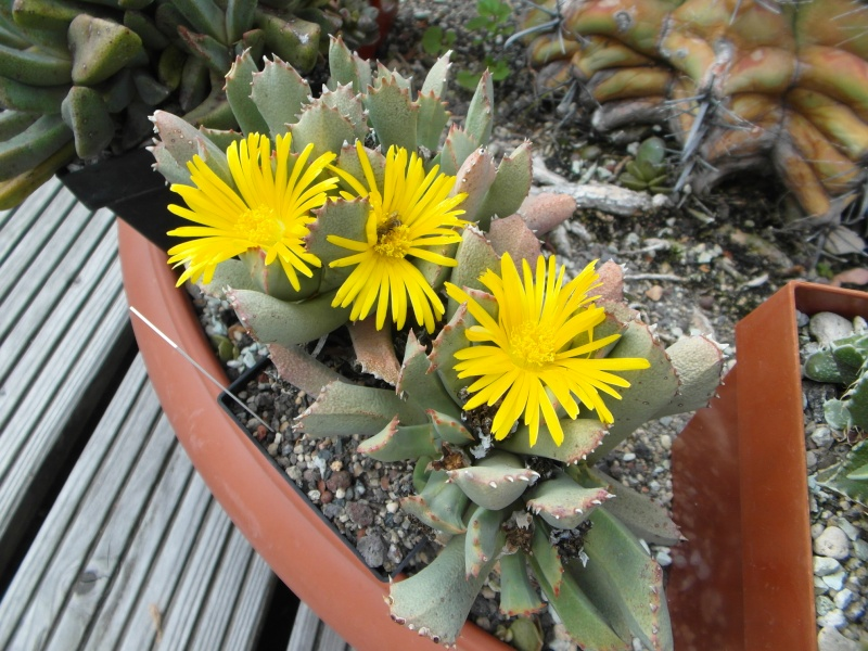 Cacti and Sukkulent in Köln, every day new flowers in the greenhouse Part 75 Bild1231