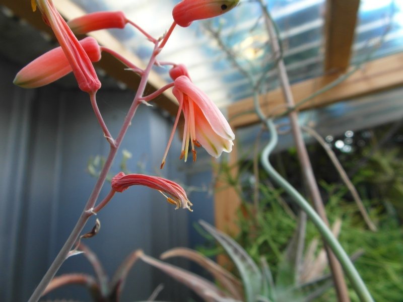 Cacti and Sukkulent in Köln, every day new flowers in the greenhouse Part 75 Bild1233
