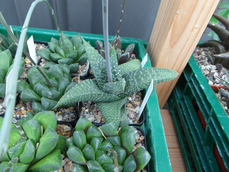 Cacti and Sukkulent in Köln, every day new flowers in the greenhouse Part 75 Bild1236