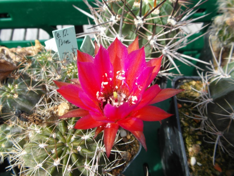 Cacti and Sukkulent in Köln, every day new flowers in the greenhouse Part 75 Bild1242
