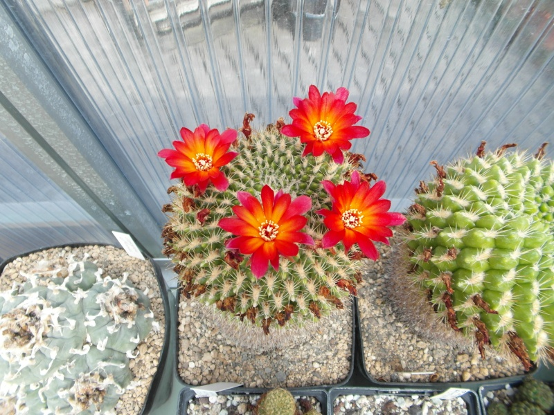 Cacti and Sukkulent in Köln, every day new flowers in the greenhouse Part 75 Bild1244