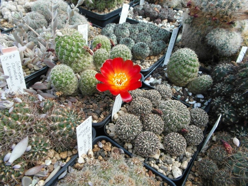 Cacti and Sukkulent in Köln, every day new flowers in the greenhouse Part 75 Bild1245