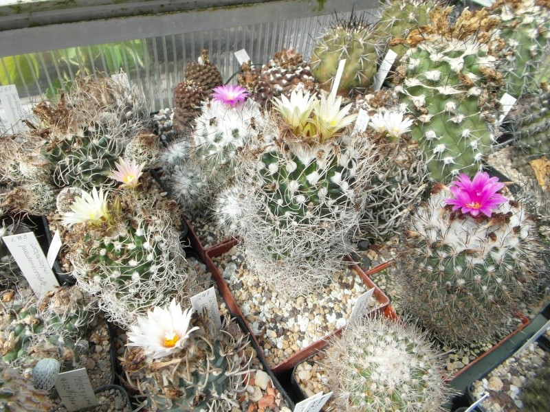 Cacti and Sukkulent in Köln, every day new flowers in the greenhouse Part 75 Bild1250