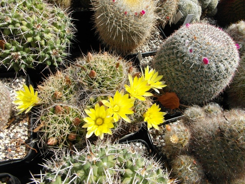 Cacti and Sukkulent in Köln, every day new flowers in the greenhouse Part 75 Bild1253
