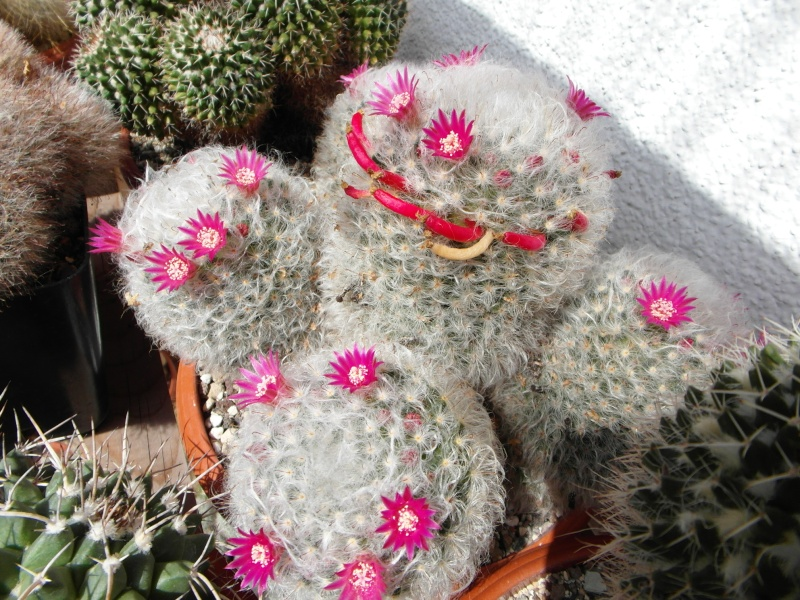 Cacti and Sukkulent in Köln, every day new flowers in the greenhouse Part 75 Bild1255