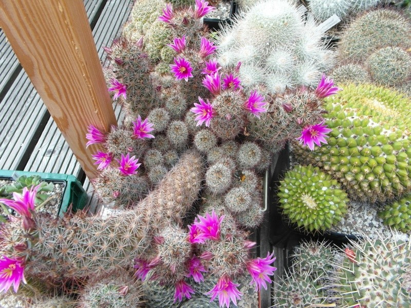 Cacti and Sukkulent in Köln, every day new flowers in the greenhouse Part 75 Bild1256