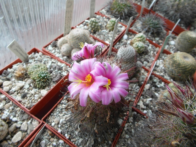 Cacti and Sukkulent in Köln, every day new flowers in the greenhouse Part 75 Bild1258