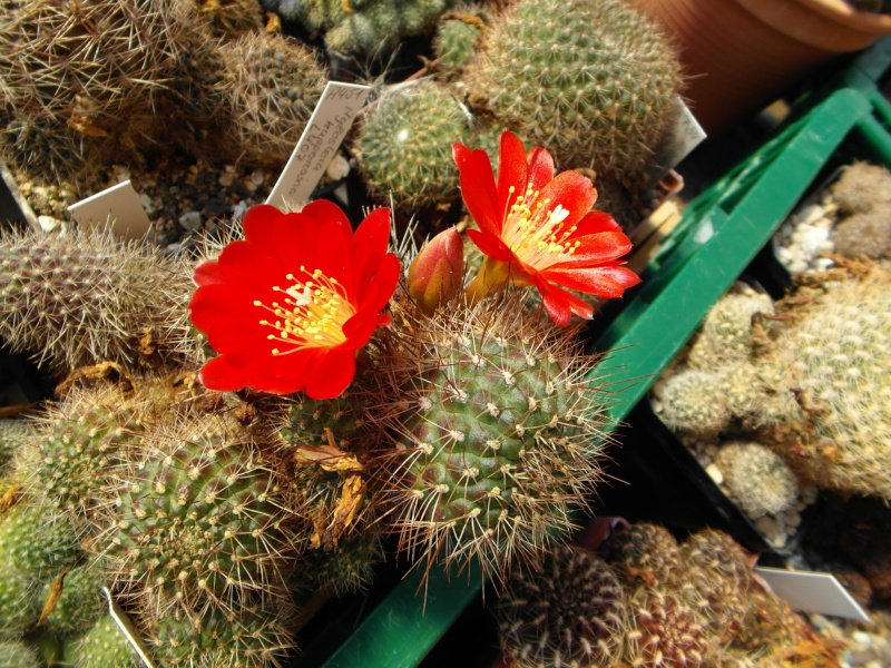 Cacti and Sukkulent in Köln, every day new flowers in the greenhouse Part 75 Bild1260
