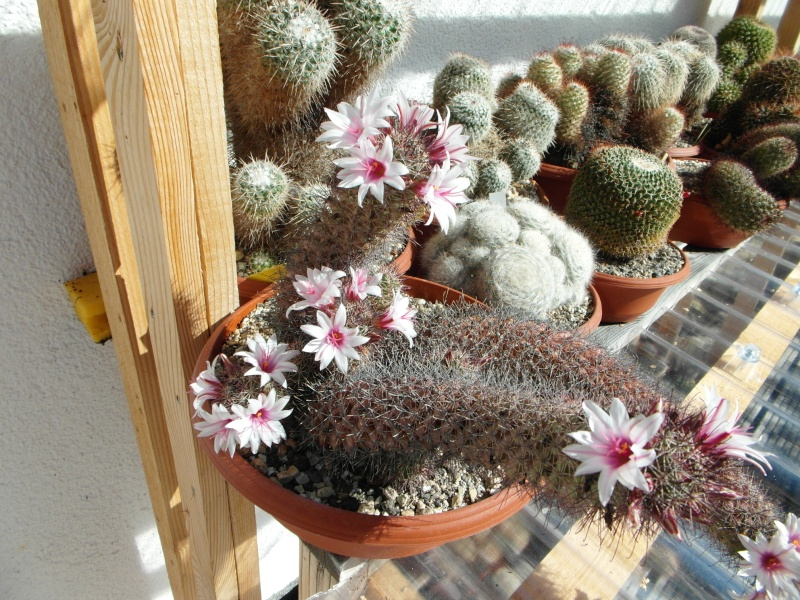 Cacti and Sukkulent in Köln, every day new flowers in the greenhouse Part 76 Bild1261