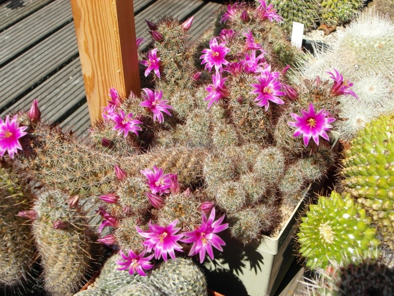 Cacti and Sukkulent in Köln, every day new flowers in the greenhouse Part 76 Bild1264