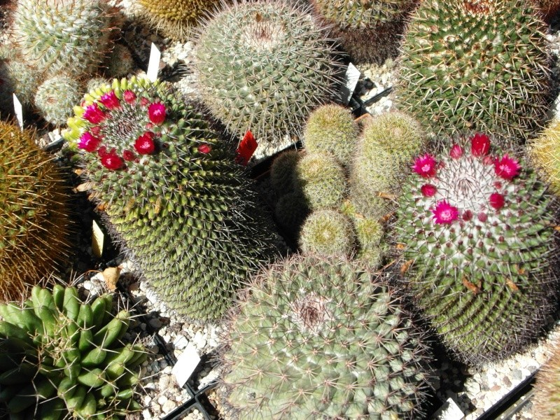 Cacti and Sukkulent in Köln, every day new flowers in the greenhouse Part 76 Bild1265