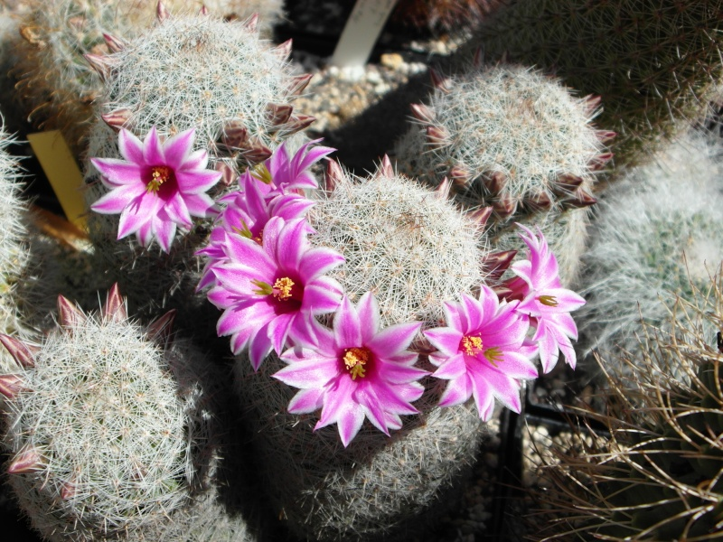 Cacti and Sukkulent in Köln, every day new flowers in the greenhouse Part 76 Bild1267