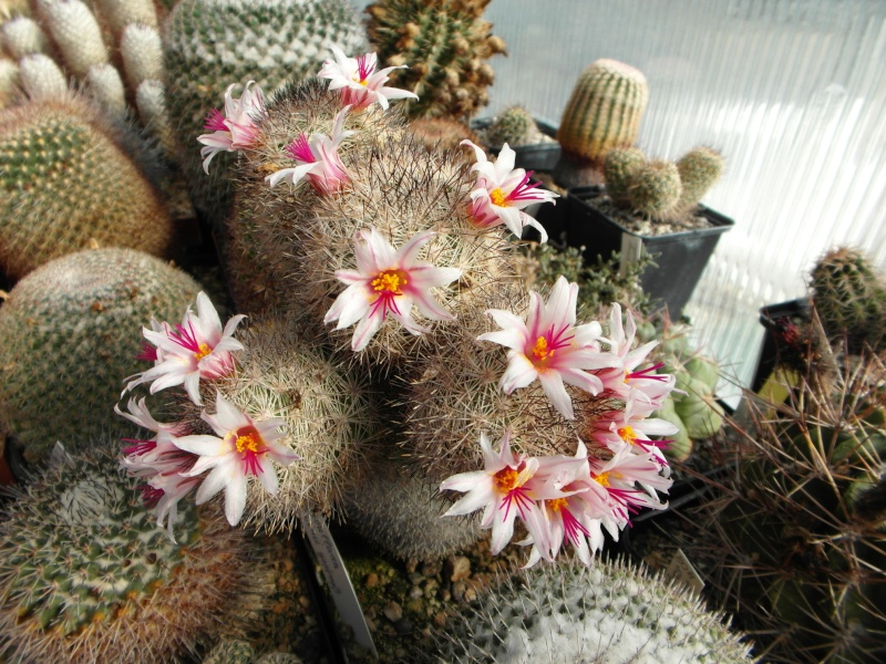 Cacti and Sukkulent in Köln, every day new flowers in the greenhouse Part 76 Bild1270