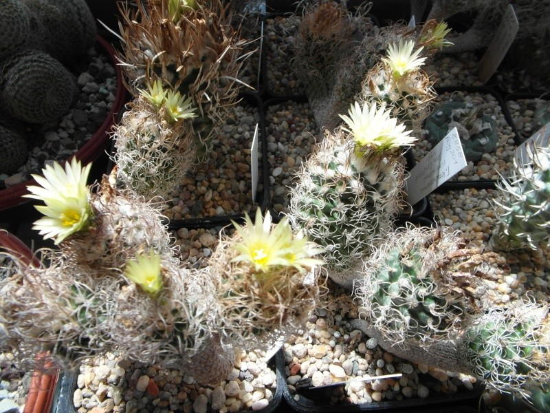 Cacti and Sukkulent in Köln, every day new flowers in the greenhouse Part 76 Bild1271