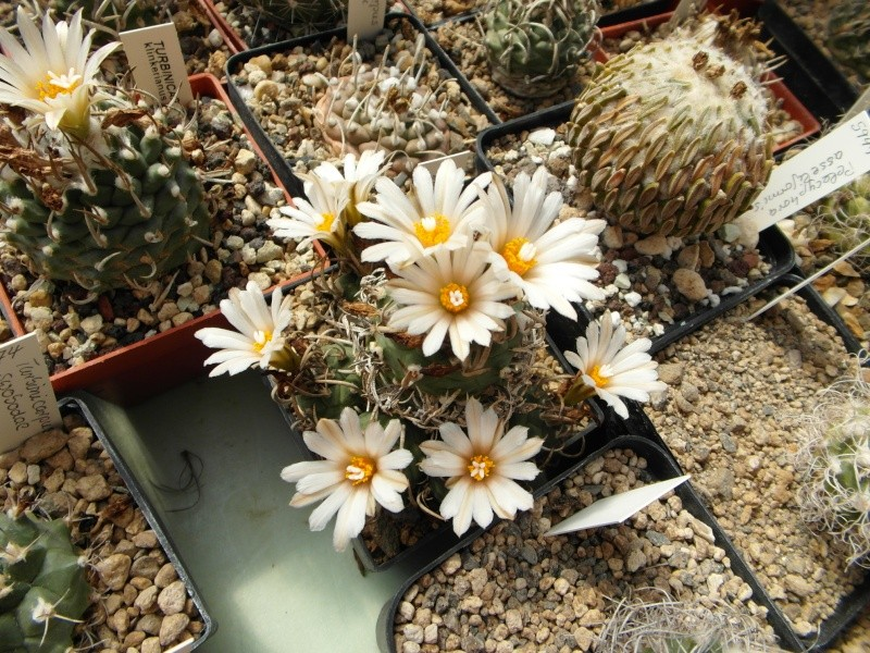 Cacti and Sukkulent in Köln, every day new flowers in the greenhouse Part 76 Bild1273