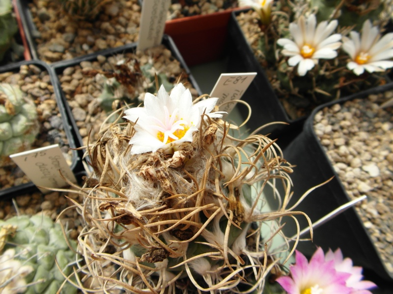 Cacti and Sukkulent in Köln, every day new flowers in the greenhouse Part 76 Bild1274