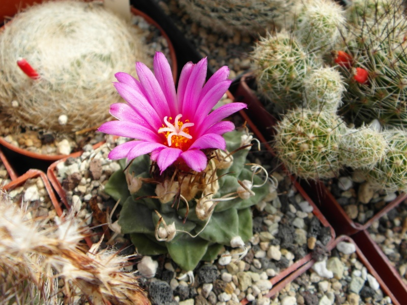 Cacti and Sukkulent in Köln, every day new flowers in the greenhouse Part 76 Bild1275