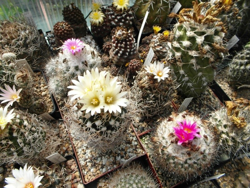 Cacti and Sukkulent in Köln, every day new flowers in the greenhouse Part 76 Bild1279