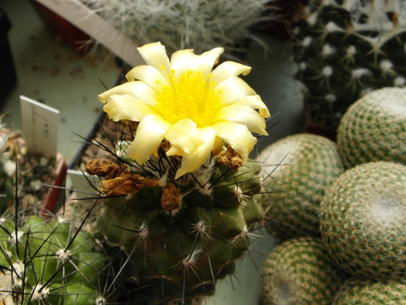 Cacti and Sukkulent in Köln, every day new flowers in the greenhouse Part 76 Bild1280