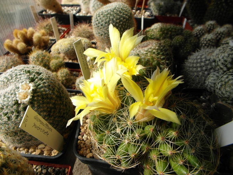 Cacti and Sukkulent in Köln, every day new flowers in the greenhouse Part 76 Bild1285
