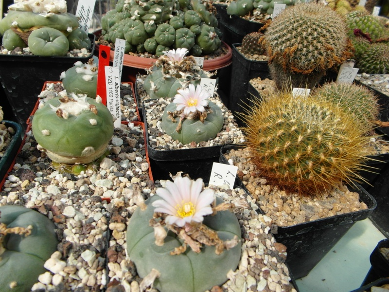 Cacti and Sukkulent in Köln, every day new flowers in the greenhouse Part 76 Bild1286