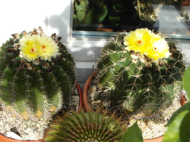 Cacti and Sukkulent in Köln, every day new flowers in the greenhouse Part 76 Bild1288